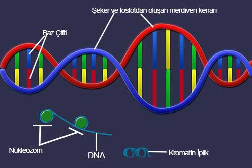 DNA_SarmalText2
