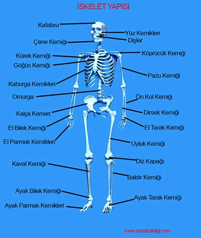 IskeletSistemi_I6O1