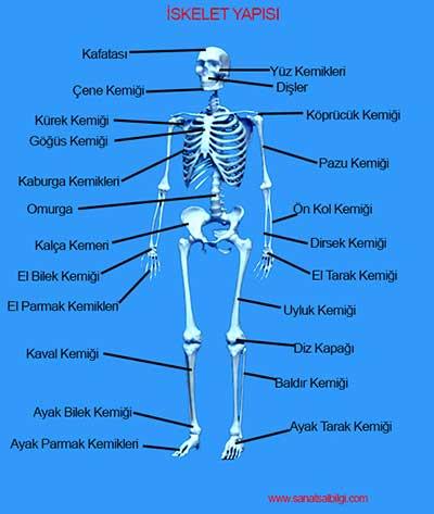 IskeletSistemi_S11K1