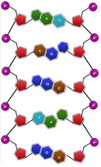 Nukleotit_Zincir1